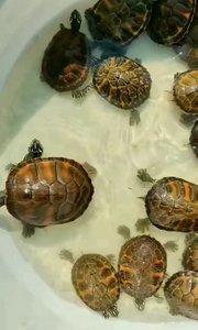 精品火焰龜