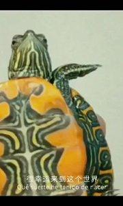 它是一只高傲的龟,哈哈?