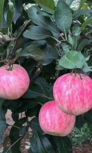 大清早就开始摘苹果了