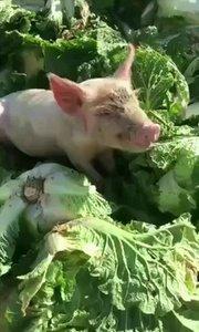 好白菜都被猪拱了。