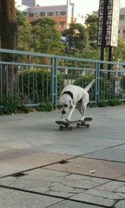聪明的狗?