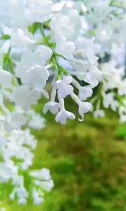 经常听丁香花这首歌,却没有见过真正的花,今天带你们看一下长啥样