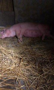 母猪太胖,就生三个小崽子。郁闷呀