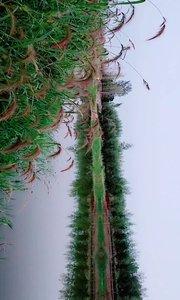 这个地方出鲤鱼了,河南商丘。#野钓