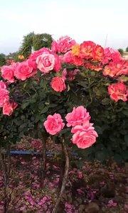 红刺藤月季花…