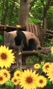 可爱?大熊猫,我们的国宝。#十一八连斗 #精彩录屏赛
