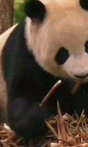大熊猫吃竹子,憨态可掬!#精彩录屏赛 #十一八连斗