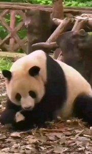 越看越喜欢的熊猫宝宝?希望人人都爱熊猫宝宝。#精彩录屏赛 #保护国宝 #热爱大自然