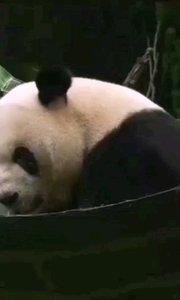 萌萌宝贝大熊猫,啃啃竹子好快乐!#萌力出击 #精彩录屏赛