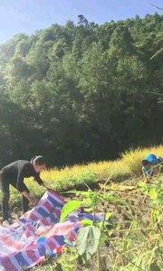 10月1日带着两个孩子回娘家帮老爸割稻谷