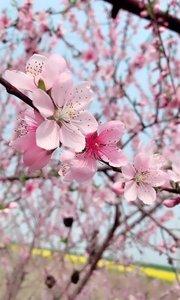 家门口的桃树开花了