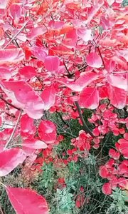 红叶颏色好 请君隔年看 明春花再发 万红与千紫