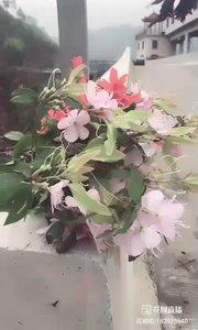 (182973840)lala在山上摘的杜鹃花引来了蝴蝶飞来飞去。lala美女还有招蜂引蝶的功能?666