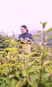 采茶趣游西九华山