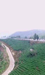 茶——西九华山
