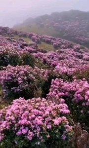 漫山遍野杜鹃花