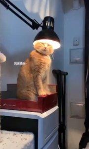 #搞笑是刚需 #原创达人 哈哈哈,一只酷爱烫头的猫,你不嫌热吗!
