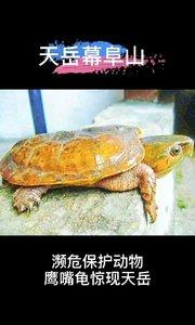 #天岳幕阜山# 濒危保护动物鹰嘴龟惊现天岳幕阜山