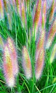 赏心悦目芳草鲜,翠叶长长绿俨然。穂穂异彩不同色,纤细毛靓美翻天。