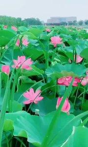 荷花是最纯洁的花?,  因为它出淤泥而不染。