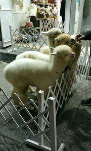 大理古城的羊驼#十一月你好