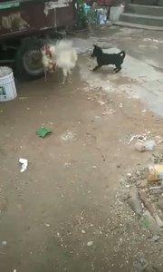 两鸡?相斗,狗狗劝架