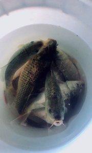 今天抓的稻花鱼