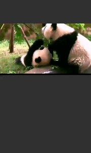 #户外动起来  @熊猫?宝宝日常 每日分享熊猫宝宝日常,喜欢的可以点击主播昵称进入到个人主页+关注