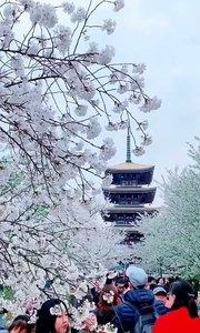 武汉樱花没有最美,只有更美