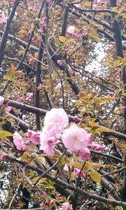 南京路旁的樱花开了