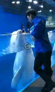 上海水族馆白鲸鱼准备放归自然前和饲养员通人性的温柔告别!