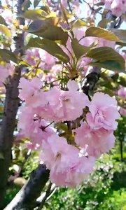 上海顾村公园的樱花,漂亮极了!