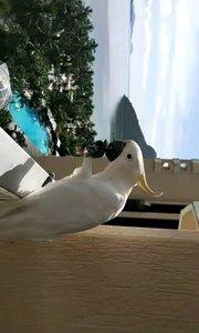 澳大利亚墨尔本海边有一群群自由的鹦鹉会吧挂着的袜子一只只全部叼走ε٩(๑> ₃