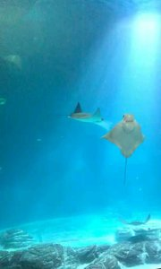 上海海洋水族馆鹰鱝,蝙蝠鱝群居生活