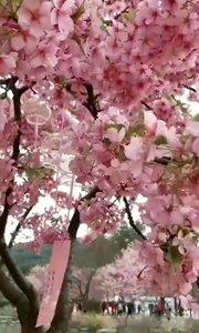 又是赏樱花季