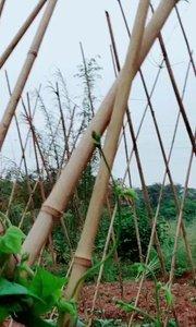 带你去看豇豆是怎么种植的!!!!#新人报道请多关照